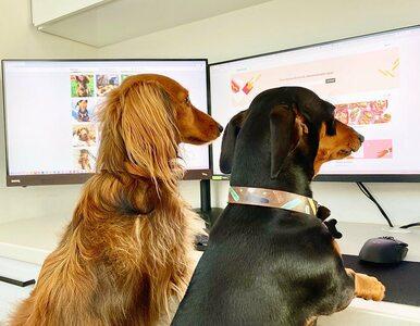 Możliwość pracy z domu? Te psy mogą być idealnymi towarzyszami