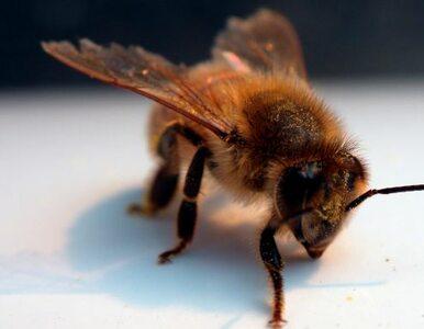 Pszczoły zamieszkały u... Komorowskiego