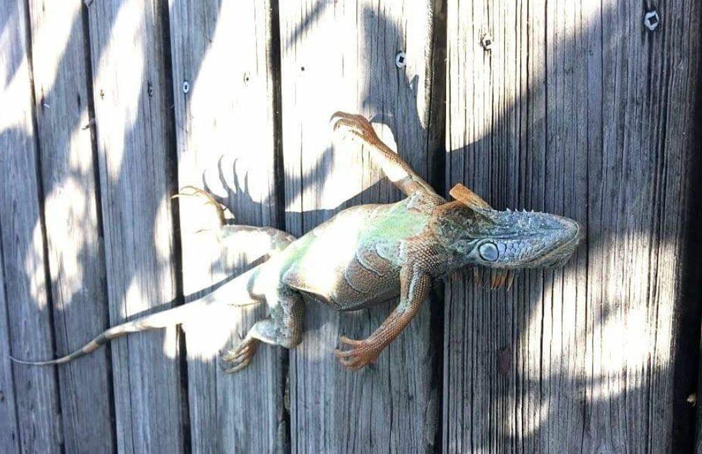 Zmarznięta iguana
