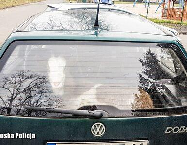 Pijany kierowca jechał bez uprawnień. Wiózł kozę i poszukiwanego przez...