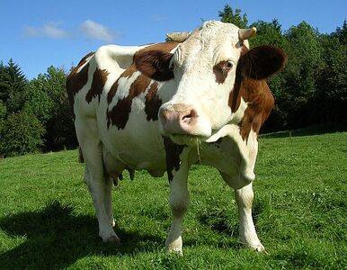 """Szwajcarzy kradli Francuzom wodę dla spragnionych krów. """"Rodzima ma zły..."""