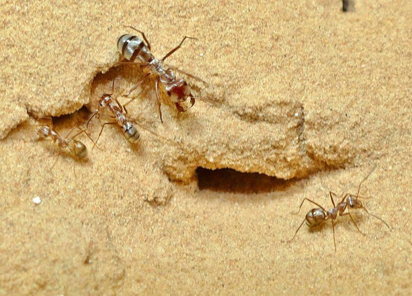 Cataglyphis bombycina - najszybsze na świecie mrówki