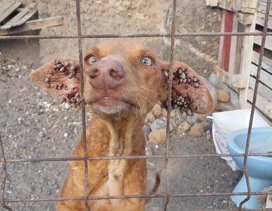 Głodowały, w uszach miały pełno kleszczy. Uratowano trzy psy porzucone...
