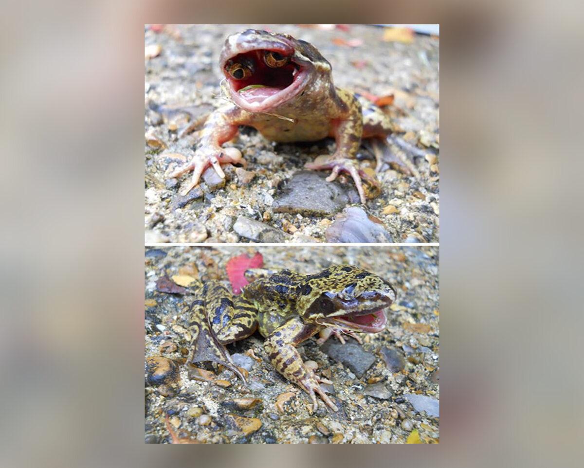 Żaba w oczami w pysku, jako wynik makromutacji