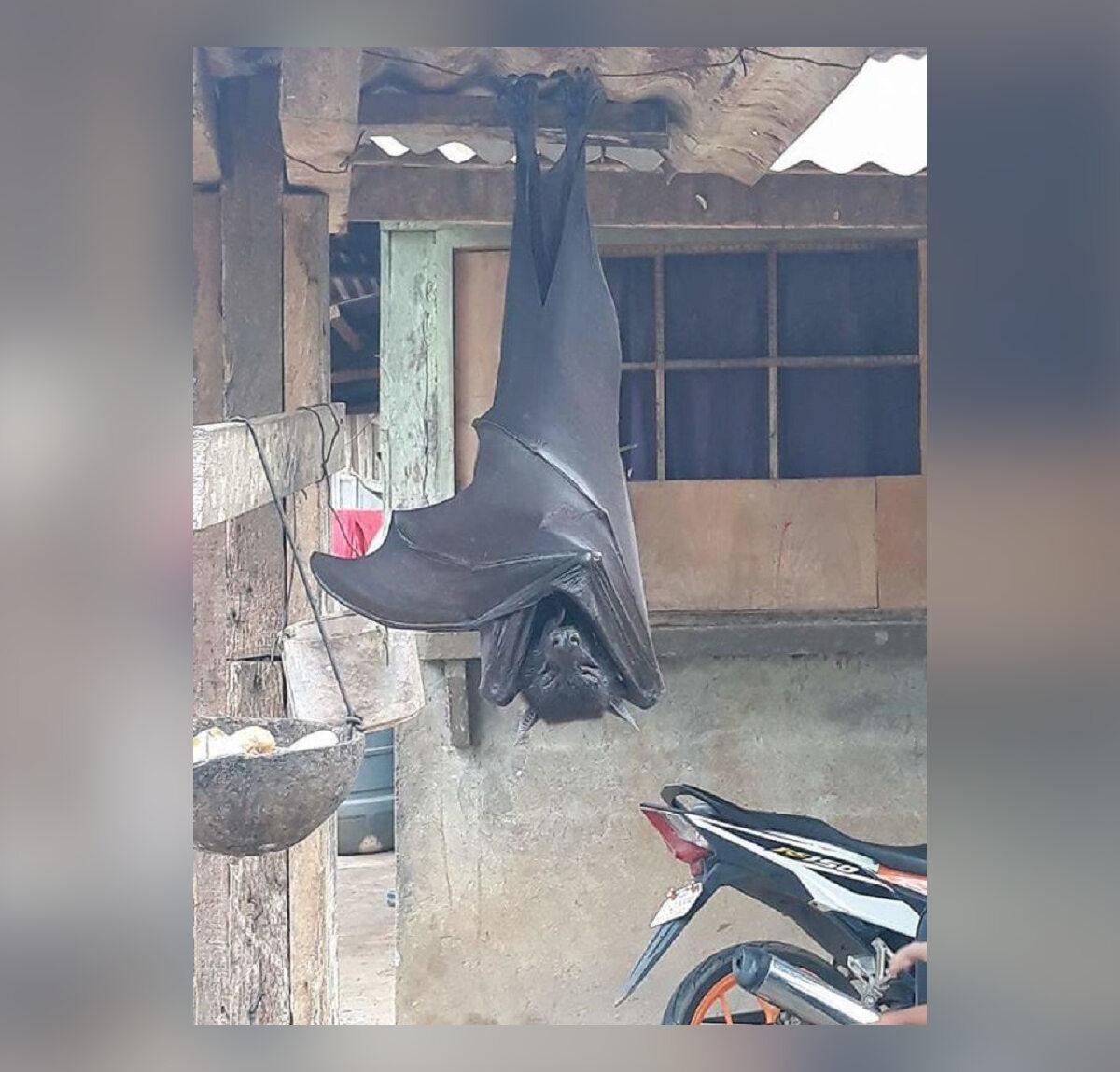 Ogromny nietoperz sfotografowany na Filipinach