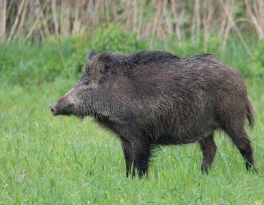 16. przypadek afrykańskiego pomoru świń w Polsce