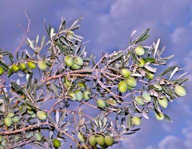 W Izraelu odkryto tłocznię oliwy sprzed 1300 lat