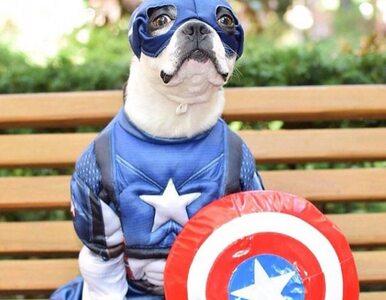 Kapitan Ameryka, Flash, Batman. Zwierzęta przebrane za superbohaterów...
