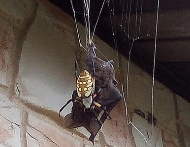 Scena jak z horroru. Dasz radę obejrzeć zdjęcia gigantycznego pająka i...