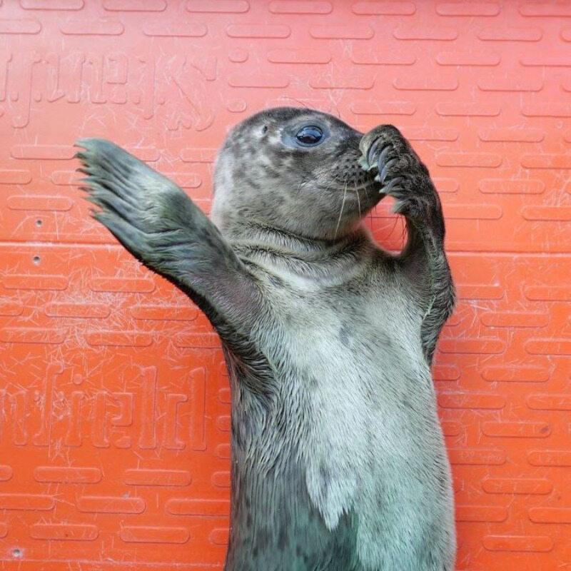 Foka uratowana przez organizację Seal Rescue Ireland