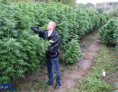 Ogromna plantacja marihuany zlikwidowana