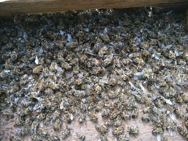 2,5 mln pszczół umarło w kilka godzin. Wykryto silnie toksyczną...