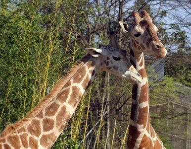 Wandale włamali się do ZOO. Dwie żyrafy padły
