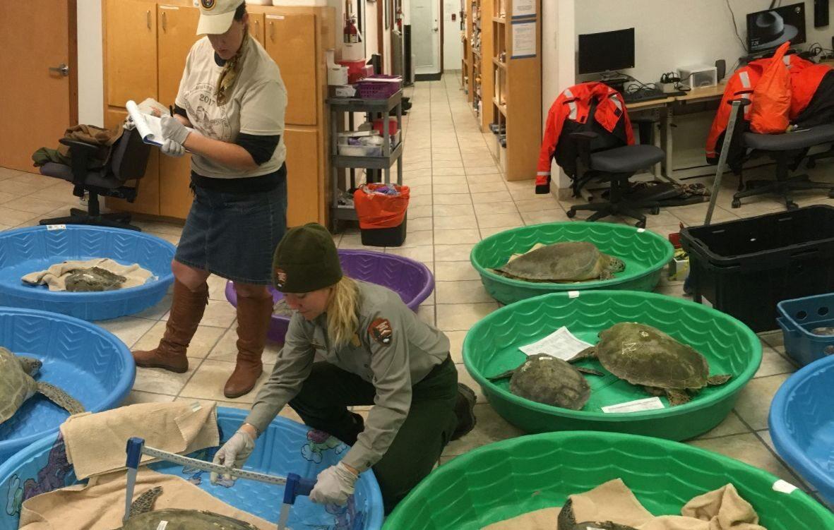 Zima w USA.  Żółwie z wyspy Padre zostały schowane do pomieszczeń