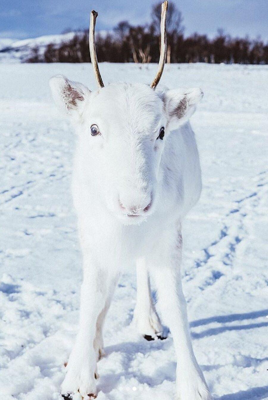 Biały renifer
