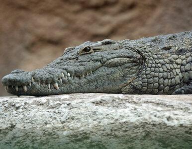 Rzeka Pisuerga przeszukiwana przez policję. Grasuje w niej krokodyl nilowy